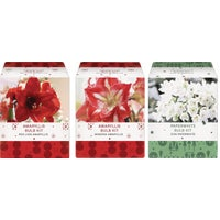 Assorted Amaryllis Kit